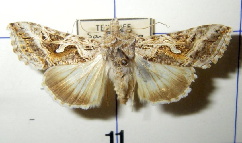 Cornutiplusia circumflexa 19742266451_5922a9b039_o