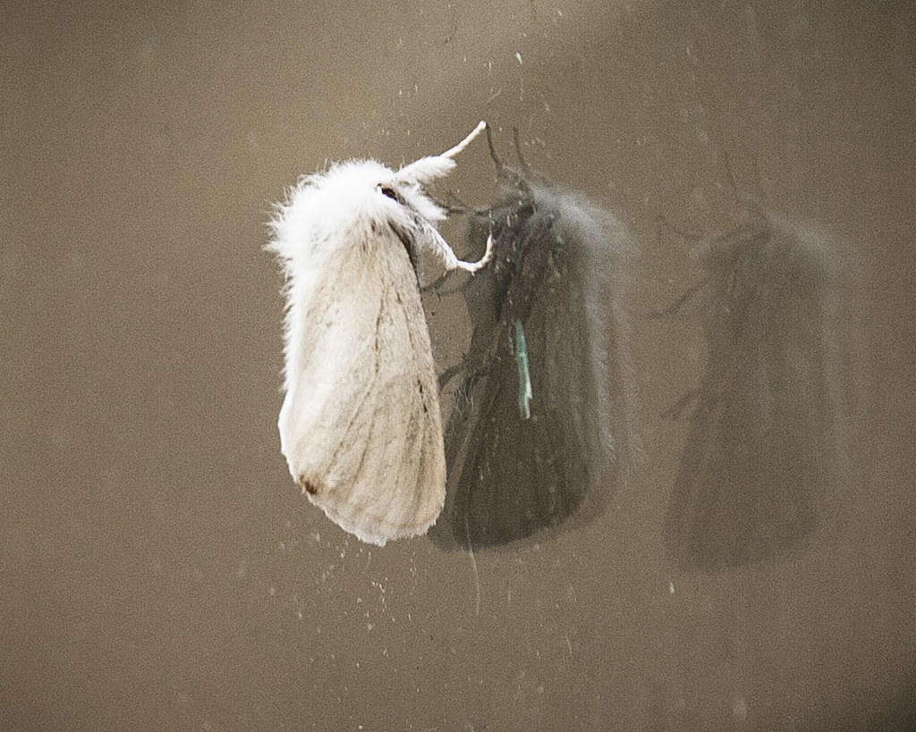 BrownTail Moth