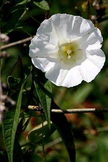 White Star Potato Flower (Ipomoea lacunosa), Lockington Locks, Lockington, Ohio