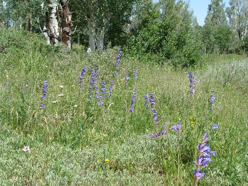 colorado meadow hike wildflowers penstemon mesacounty uncompahgreplateau