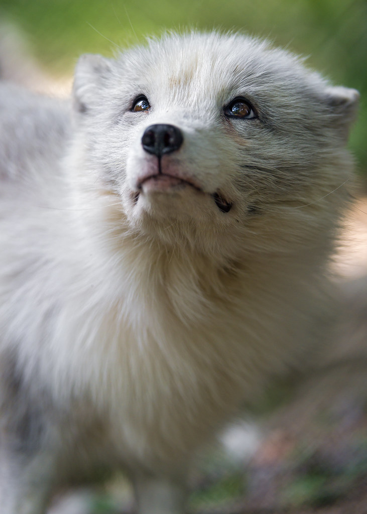 White arctic fox looking upwards