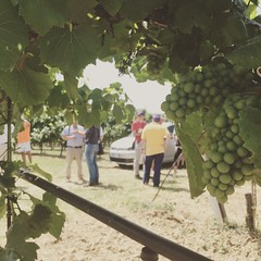 Syngenta in campo 2015 - Grape Field Tour