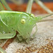 Southern oak bush cricket #4 by Lord V
