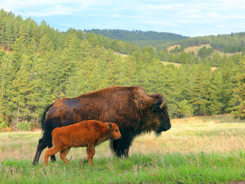 IMG_8577 Bison, Custer State Park