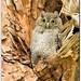Eastern Screech Owl Chick by mlibbe