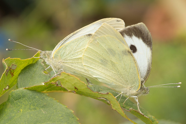 Large White Butterflies mating.