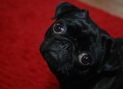 nose(0.0), animal(1.0), puppy(1.0), dog(1.0), red(1.0), pet(1.0), french bulldog(1.0), close-up(1.0), carnivoran(1.0), black(1.0), pug(1.0),