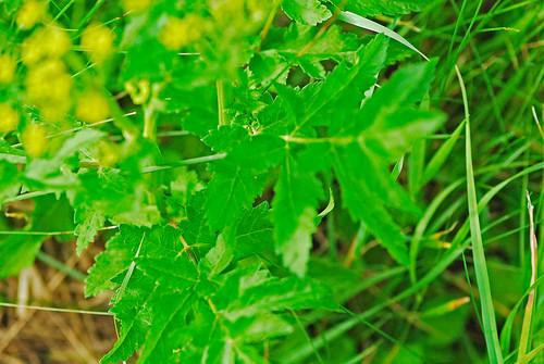 080713 2008 alexanders apiaceae apiales asterids goldenalexanders mi seneynwr zizia ziziaaurea flower wildflower