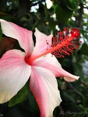 Hibiscus Rosa-Sinensis-