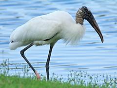 2014-02-25Yard Wood Stork