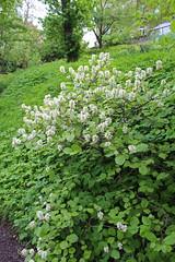 Hamamelidaceae