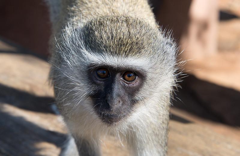 Velvet Monkey being interested