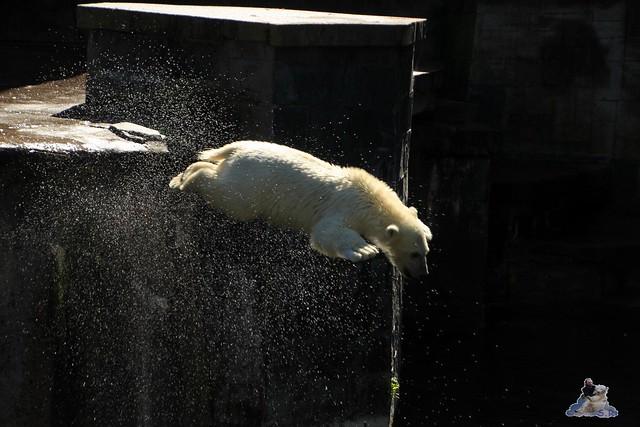 Eisbär Fiete im Zoo Rostock 11.07.2015  010