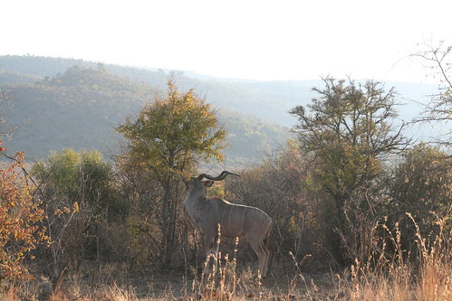 A male kudu chomping a tree