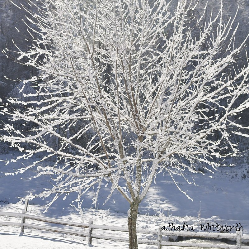 Athalia Whitworth - Maple tree in ice storm