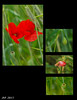 Ages d'un coquelicot / Ages of a Poppy
