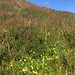 Small photo of Bell heather, Tormentil, bed straw