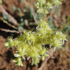 evergreen, flower, leaf, plant, macro photography, subshrub, herb, wildflower, flora,