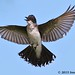 Eastern Kingbird - Miller's Lake, Louisiana by Image Hunter 1