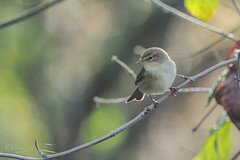 Common chiffchaff - Photo of Theil-Rabier