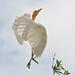 Egret 2 by maureen_g
