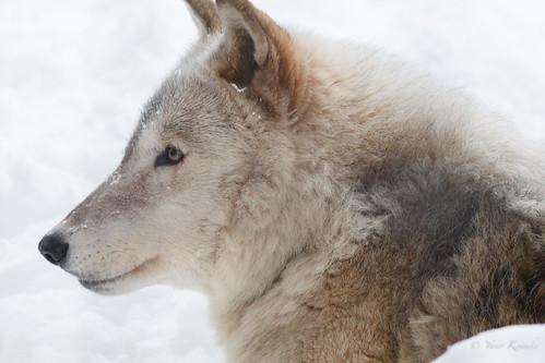 wolf オオカミ animal 動物 zoo 動物園 sapporo 札幌 hokkaido 北海道 japan 日本 maruyamazoo 円山動物園