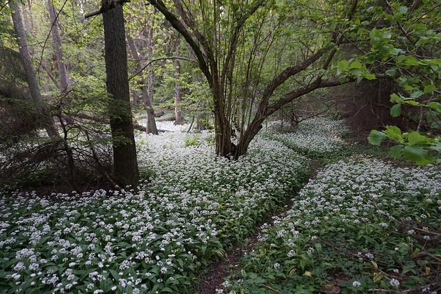 Forest of wood garlic (ramslök)