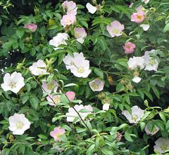 garden roses(0.0), rosa rugosa(0.0), rosa wichuraiana(1.0), shrub(1.0), flower(1.0), rosa gallica(1.0), plant(1.0), rosa rubiginosa(1.0), flora(1.0), rosa acicularis(1.0), rosa pimpinellifolia(1.0),