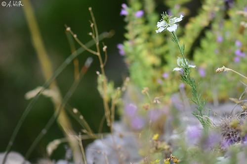 nigellaarvensis naturguckerde nestosschlucht calexanderwirth ngidn1425370145