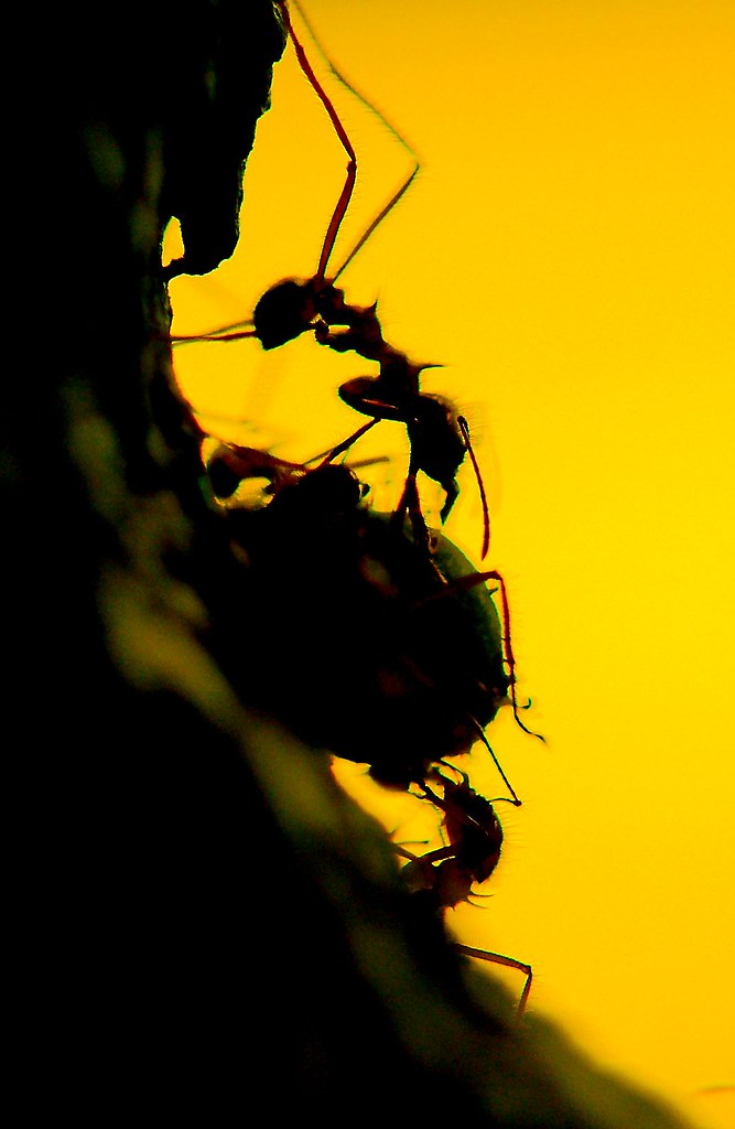 Leaf Cutter Ants_9