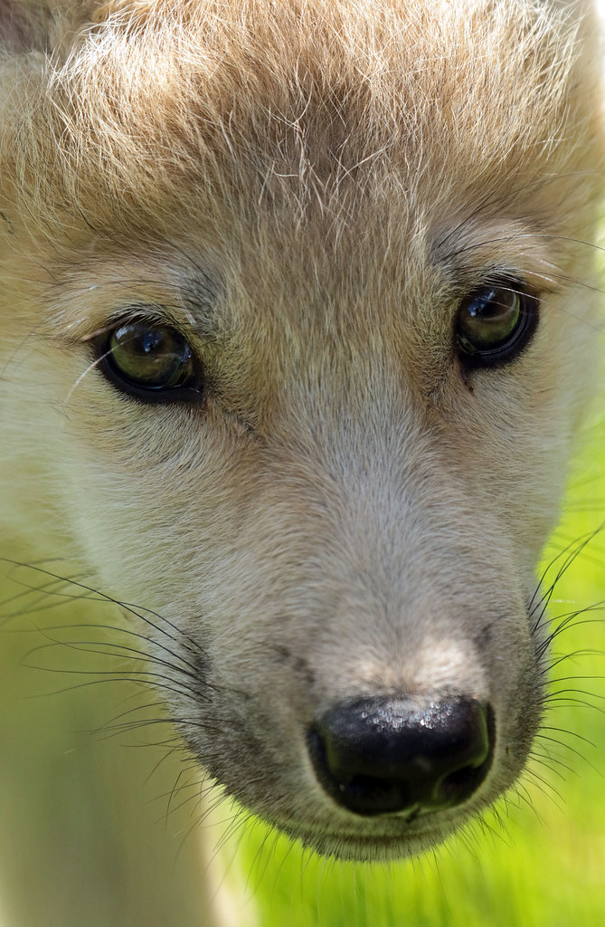 hudsonbay wolf Hoenderdaell JN6A0202