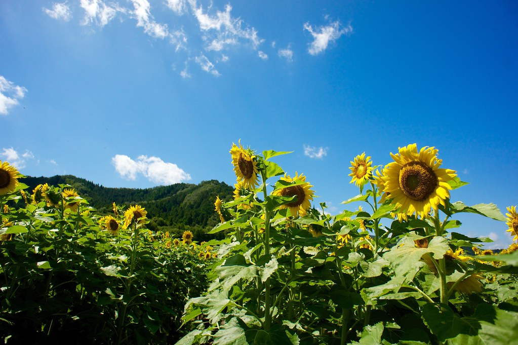 Sunflower Festival - Sayo, Hyogo