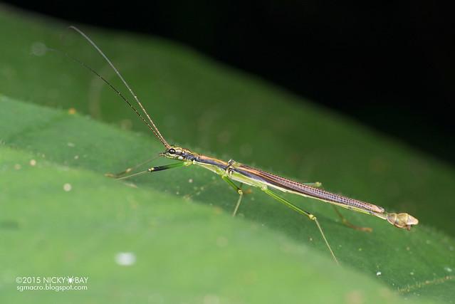 Stick insect (Phasmatodea) - DSC_4927