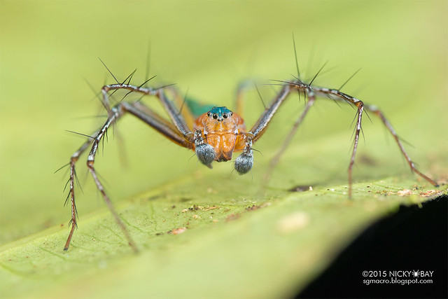 Lynx spider (Hamadruas sp.) - DSC_5537