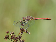 Steenrode heidelibel man