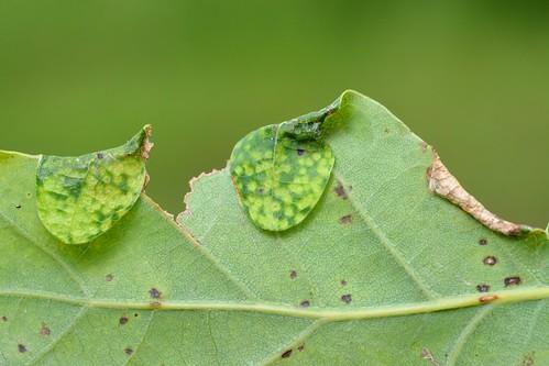 Macrodiplosis pustularis and Macrodiplosis roboris