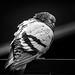 monochrome pigeon by skeem125