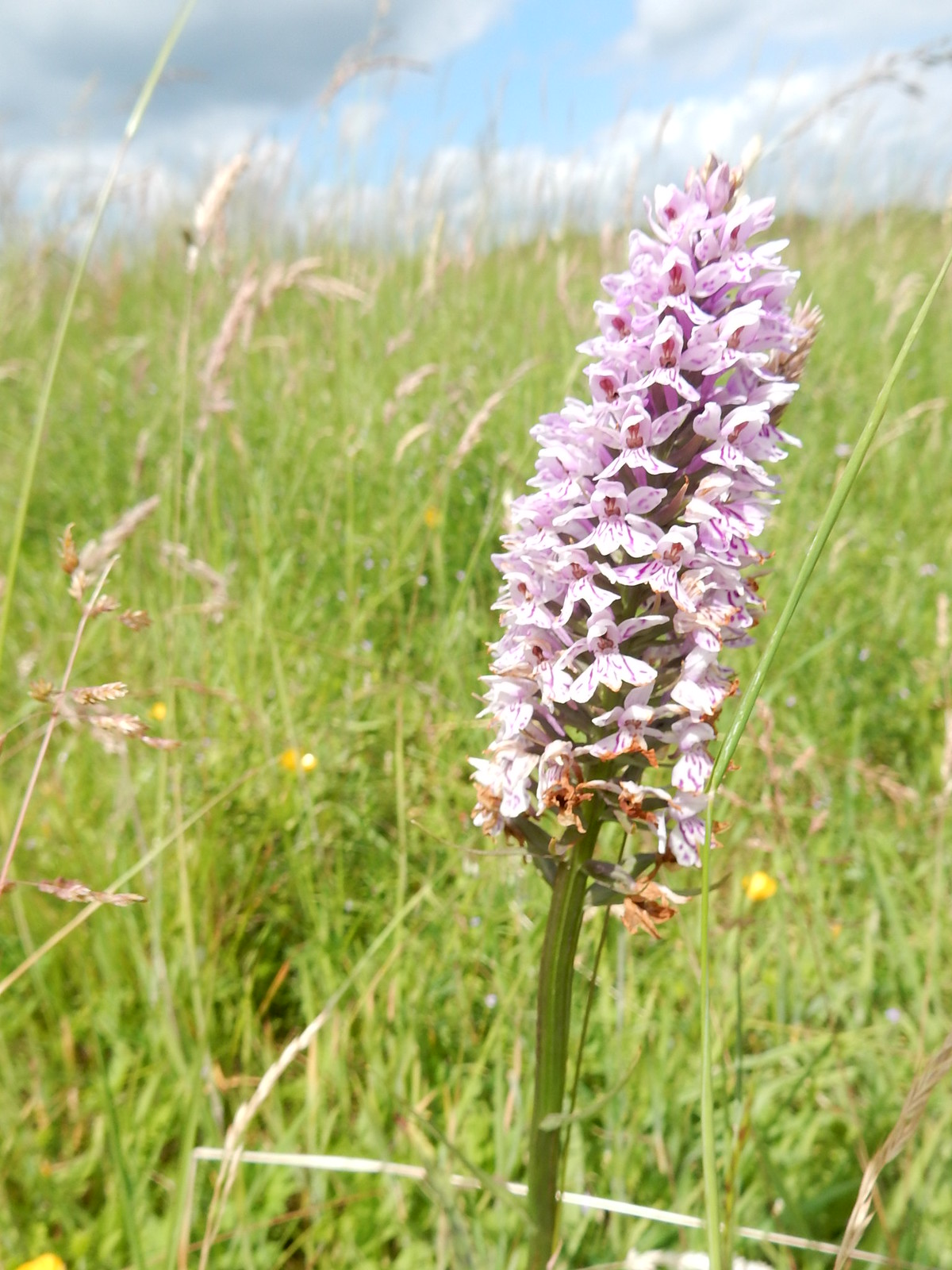 Orchid Hitchin Circular Shortcut 1