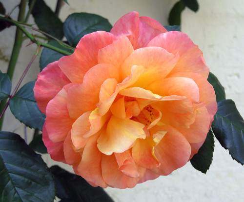 A old-fashioned rose grows in the Medieval Village section of St-Valery-sur-Sommes