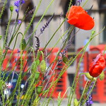 Red Poppies & Red Boxes