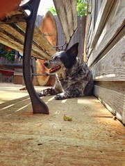 One of Dazy's favorite spots in the backyard. Under the bench keeping an eye on everything.