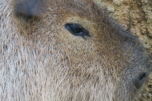 Capybara 01