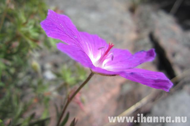 Flower in Grinda by iHanna of www.ihanna.nu