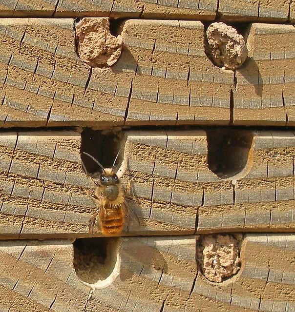 Osmia on Bug House