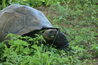 Land Turtle.  Galapagos Is.  Ecuador.