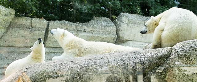 Eisbären Giovanna,Nela und Nobby