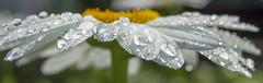 Wet Daisy, Macro Wide