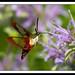 Hummingbird Clearwing Moth by NavjotSingh