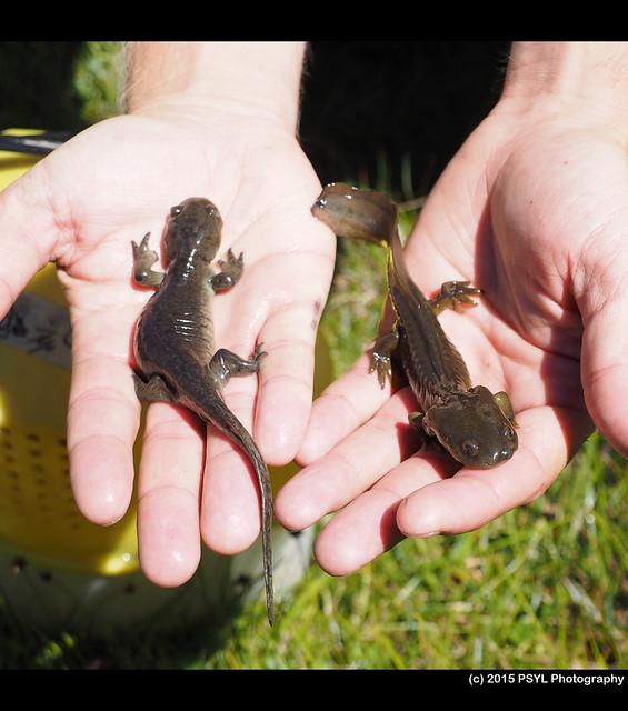 Tiger salamanders (Ambystoma tigrinum nebulosum)