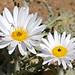 Small photo of Karoo Daisy (Arctotis leiocarpa)